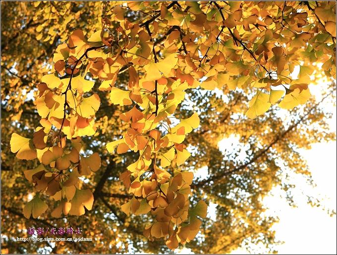 银杏树叶还没黄透